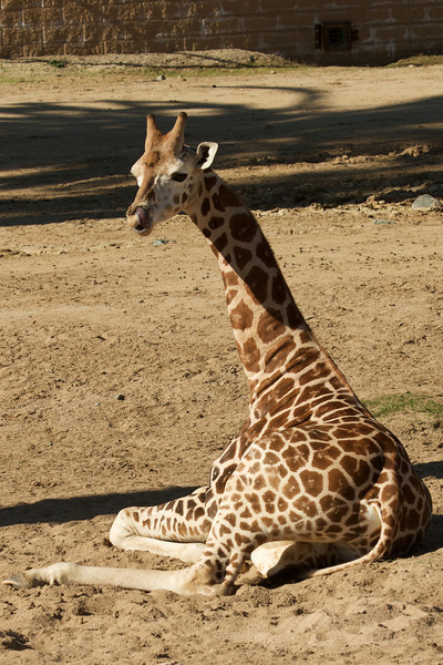 Zoom in and look at what the giraffe is doing with his tongue.