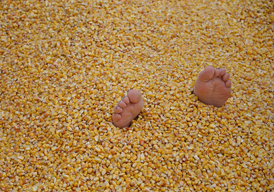 Oct. '11 - Pumpkin Farm. Kimber's feet after being buried in corn!