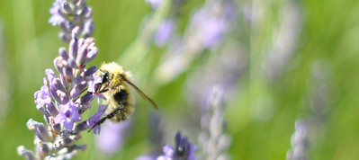 The same bee on the lavender in our yard, but cropped even closer. I think those white specs are pieces of pollen. Crazy.