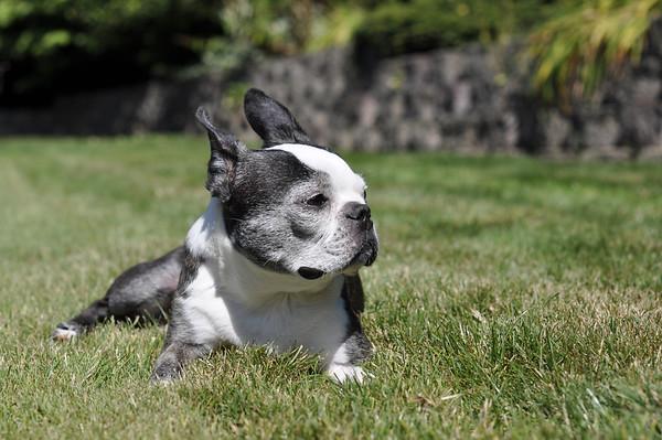 Chloe sunning herself in the backyard.