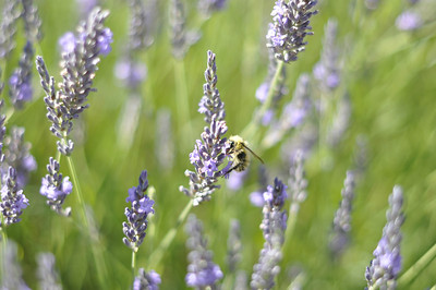 A bee on the lavender in our yard.