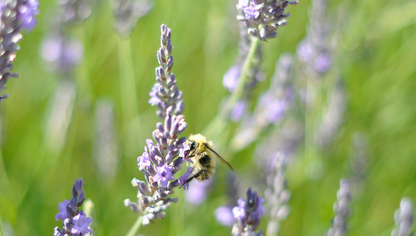 The same bee on the lavender in our yard, but cropped closer.