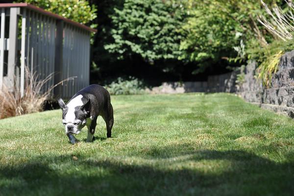 Chloe walking around the back yard.