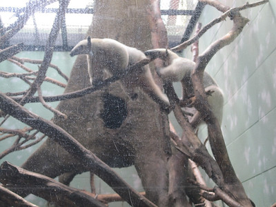 Woodland Park Zoo - anteaters