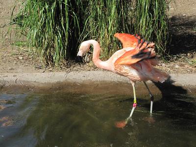Woodland Park Zoo - pink flamingos