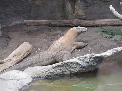 Woodland Park Zoo - komodo dragon