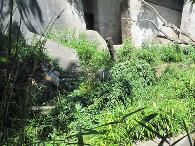 Woodland Park Zoo - tiger