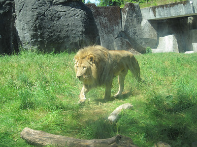Woodland Park Zoo - the lions happened to come out and walk right by the observatory cave. It was unreal to be so close to them!