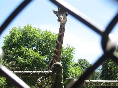 Woodland Park Zoo - giraffe