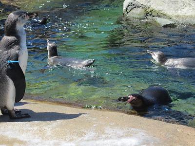 Woodland Park Zoo - penguins!