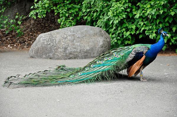 2012.04 - Zoo. Peacock.