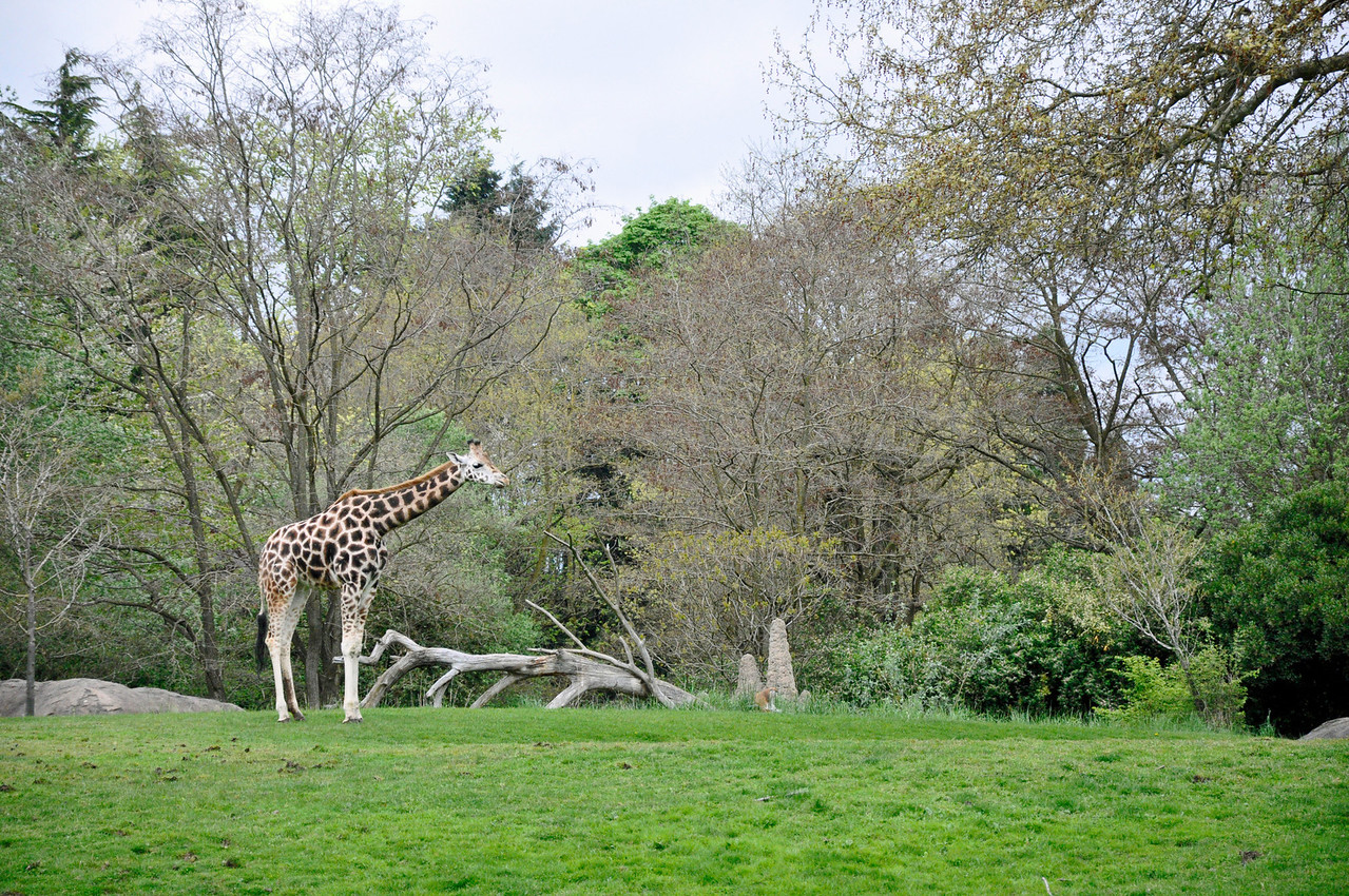 2012.04 - Zoo. Giraffes in the African safari exhibit.