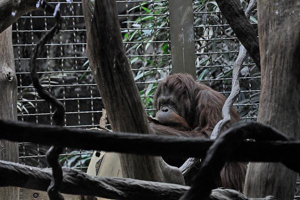 2012.04 - Zoo. Orangutan.