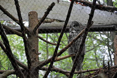 2012.04 - Zoo. Great Gray Owl. They were huge!