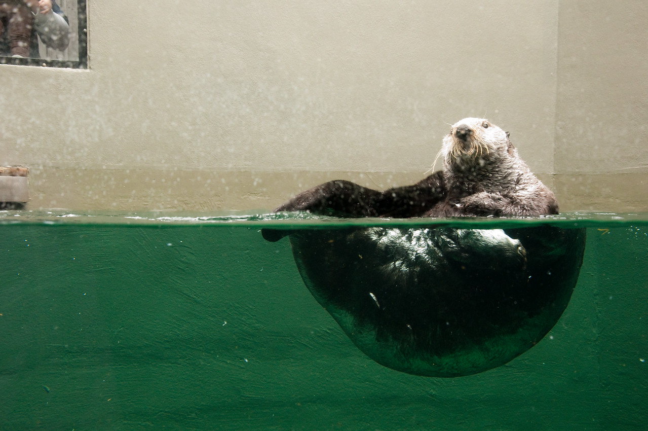 2012.05 - Aquarium. Otter doing somersaults.