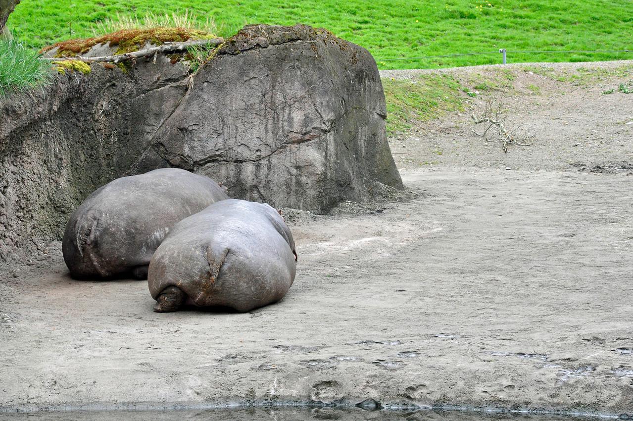 2012.04 - Zoo. Hippopotamus bums.