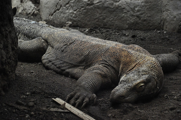 2012.04 - Zoo. Komodo Dragon.