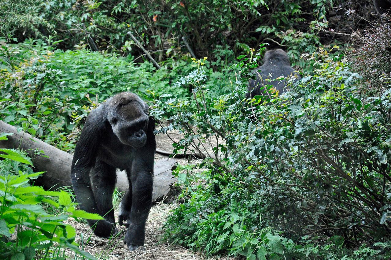 2012.04 - Zoo. Gorillas.