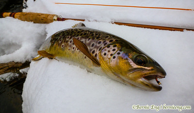 Hungry brown trout couldn't resist my pathetic fly-tying specimen.