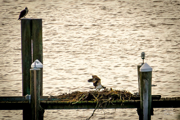 Ospreys protecting their nest