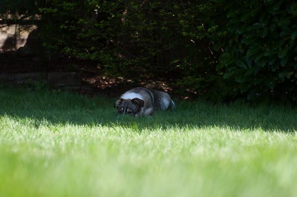 2015.04.15 - Chewie in the backyard