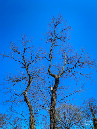 A bright, crystal-clear mid-day sky is a perfect backdrop to the stark trees not yet ready to bud.