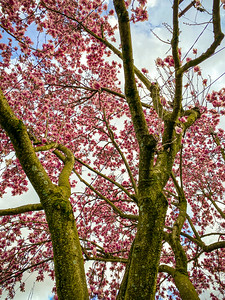 Magnolias fill the sky with color