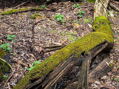 Moss envelopes an old fallen tree