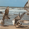 Seagull French Fry Fight