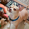 Taco, our neighbor Mary's chihuahua