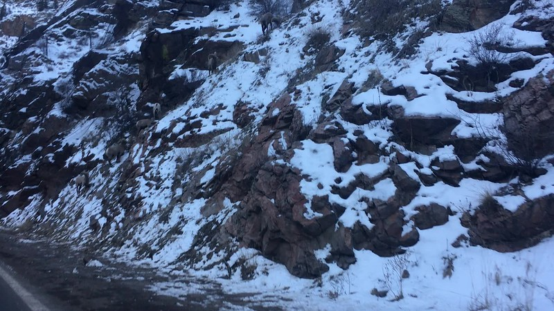 handfull of bighorn sheep along the side of the road in Clear Creek