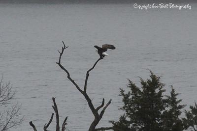20131214-BaldEagles-03a