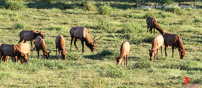 20160917-BoxleyValley-Elk-02wm