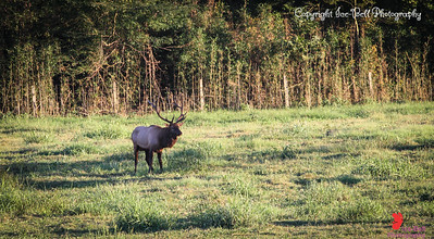 20160917-BoxleyValley-Elk-14wm