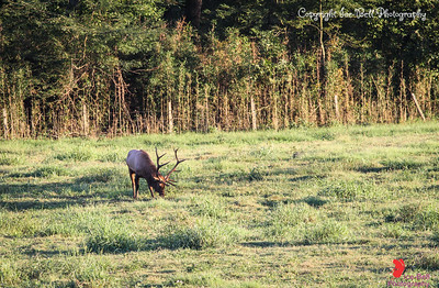 20160917-BoxleyValley-Elk-16wm