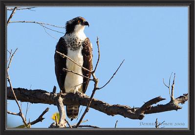 Dennis Stemen's Osprey