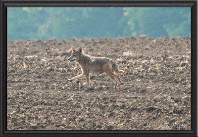 Coyote on Roush Road in Eastern Lima