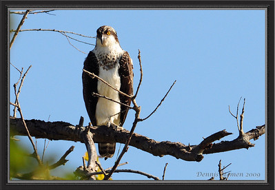A picture taken of an Osprey by a good friend of ours Dennis Stemen