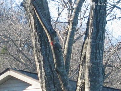 12/07/05  Woodpecker in tree outside dad's house.