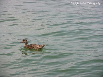20070804-Duck-04