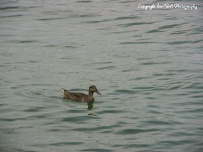 20070804-Duck-02