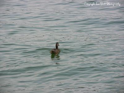 20070804-Duck-03