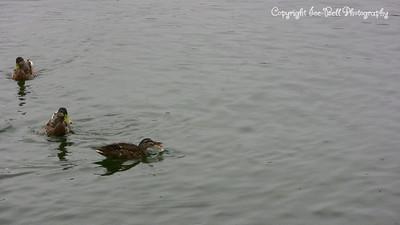 20070908-DucksBeingFeed-03