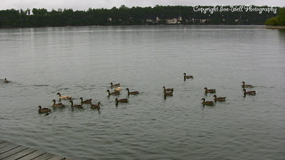 20070908-DucksBeingFeed-02