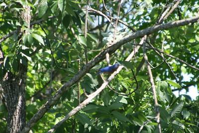 20100508-TableRockLake-BlueBirds-36