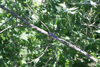 20100508-TableRockLake-BlueBirds-16