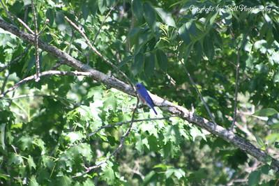 20100508-TableRockLake-BlueBirds-30