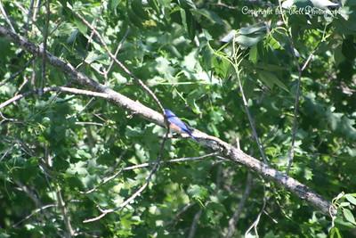 20100508-TableRockLake-BlueBirds-14