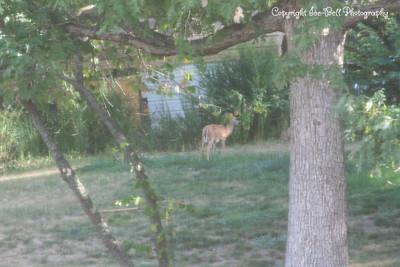 20120725-228Overlook-DeerInYard-01