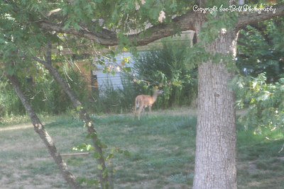 20120725-228Overlook-DeerInYard-02